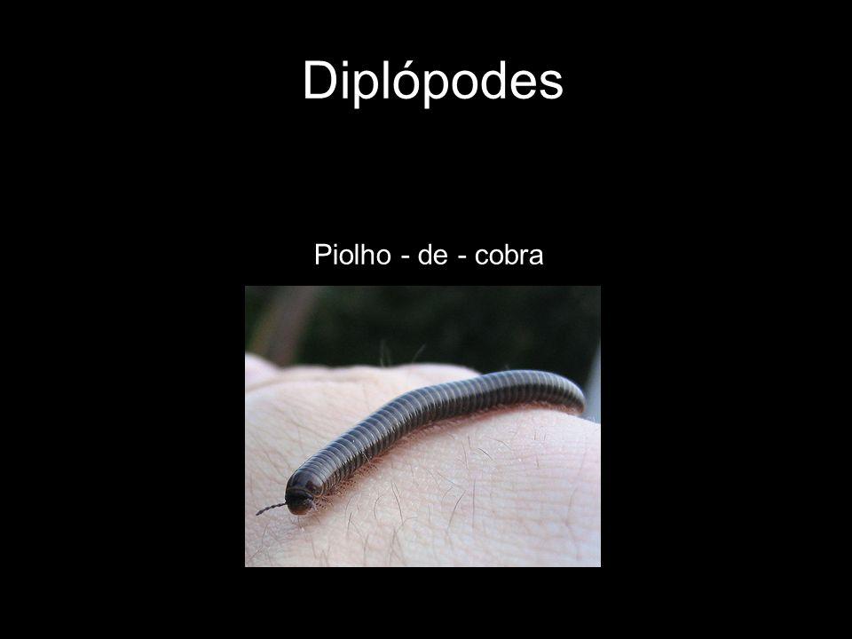 Diplópodes Piolho - de - cobra