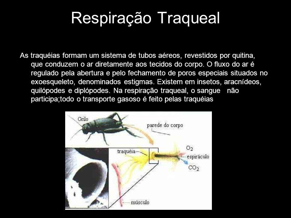 Respiração Traqueal As traquéias formam um sistema de tubos aéreos, revestidos por quitina, que conduzem o ar diretamente aos tecidos do corpo. O flux