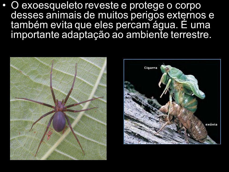 O exoesqueleto reveste e protege o corpo desses animais de muitos perigos externos e também evita que eles percam água. É uma importante adaptação ao