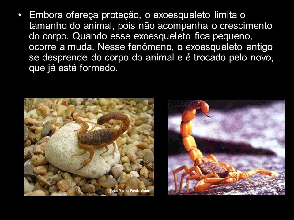 Embora ofereça proteção, o exoesqueleto limita o tamanho do animal, pois não acompanha o crescimento do corpo. Quando esse exoesqueleto fica pequeno,