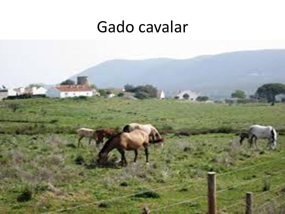 Gado cavalar