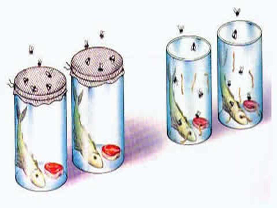 O experimento de Francesco Redi (1626-1697) Um dos primeiros a empregar o método experimental Uma das principais evidências da abiogênese era o aparec