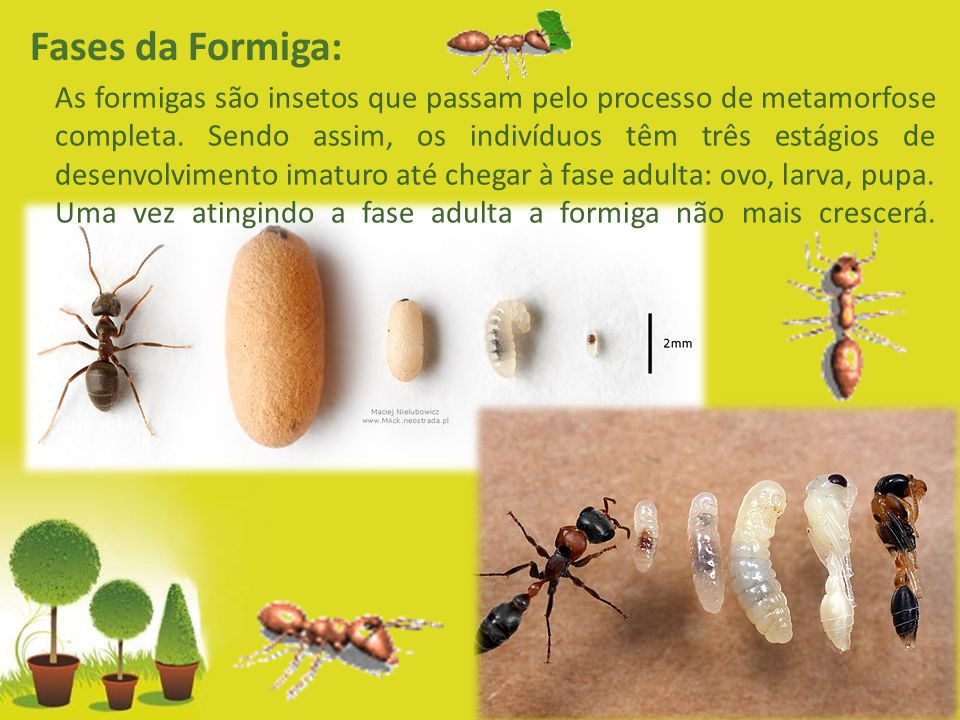 Powerpoint Templates Page 11 Fases da Formiga: As formigas são insetos que passam pelo processo de metamorfose completa. Sendo assim, os indivíduos tê