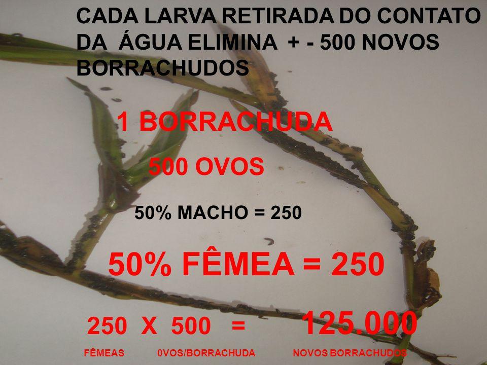 CADA LARVA RETIRADA DO CONTATO DA ÁGUA ELIMINA + - 500 NOVOS BORRACHUDOS 1 BORRACHUDA 500 OVOS 50% MACHO = 250 50% FÊMEA = 250 250 X 500 = 125.000 FÊMEAS 0VOS/BORRACHUDA NOVOS BORRACHUDOS