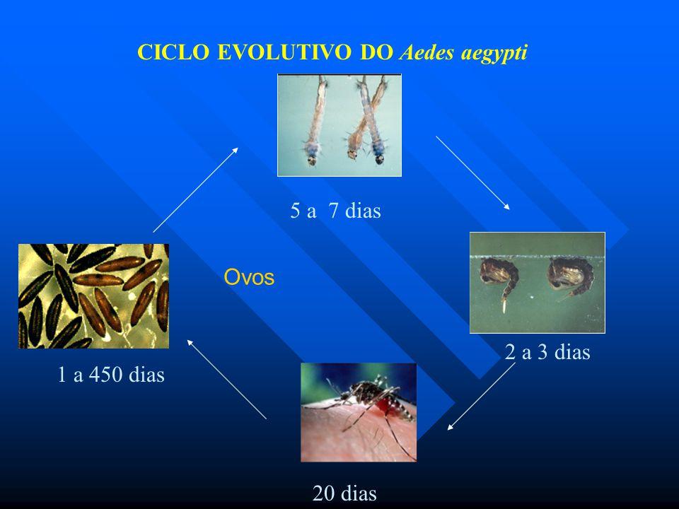 CICLO EVOLUTIVO DO Aedes aegypti 5 a 7 dias 2 a 3 dias 20 dias 1 a 450 dias Ovos