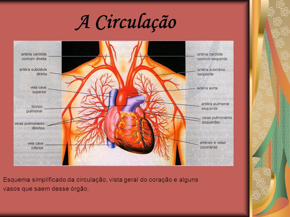  Composto pelo coração, pelos vasos sanguíneos e pelo sangue;  Tem por função fazer o sangue circular por todo organismo;  Transporta e distribuir