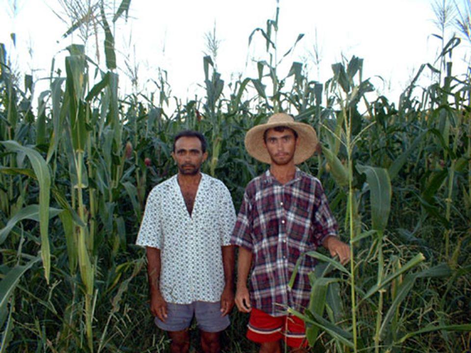 Depois da Irrigação primeira safra de milho