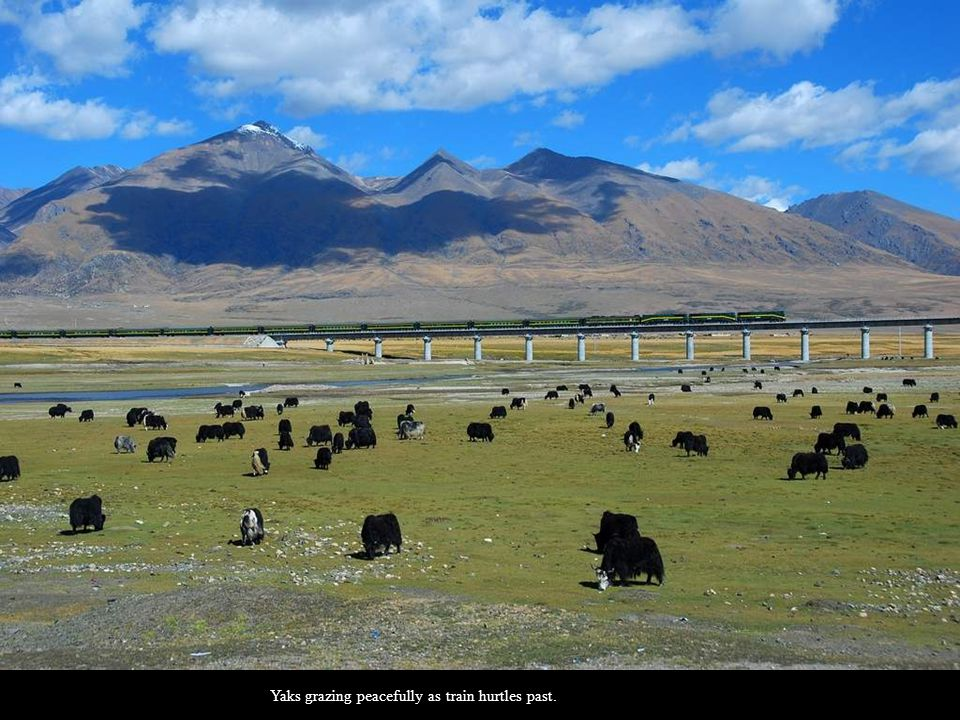 Yaks grazing peacefully as train hurtles past.