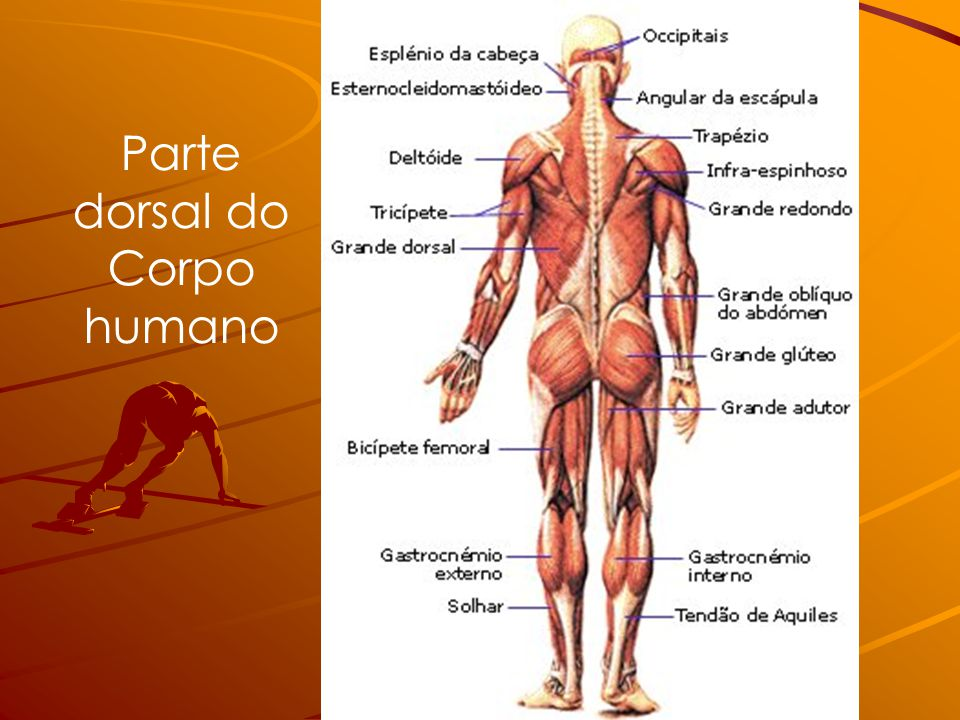 Parte dorsal do Corpo humano