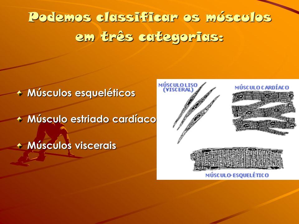 Podemos classificar os músculos em três categorias: Músculos esqueléticos Músculo estriado cardíaco Músculos viscerais