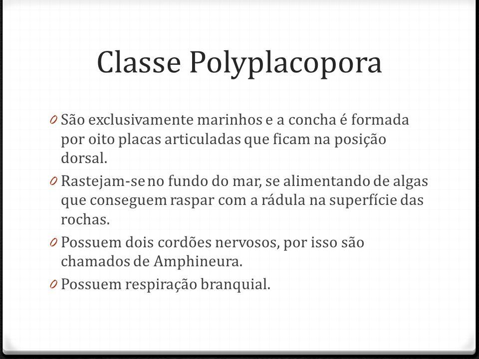 Classe Polyplacopora 0 São exclusivamente marinhos e a concha é formada por oito placas articuladas que ficam na posição dorsal.