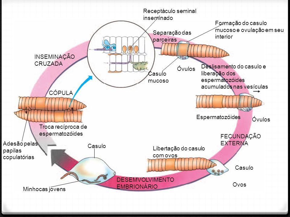 INSEMINAÇÃO CRUZADA Receptáculo seminal inseminado Separação das parceiras Formação do casulo mucoso e ovulação em seu interior Deslisamento do casulo e liberação dos espermatozóides acumulados nas vesículas Casulo mucoso Óvulos Espermatozóides Óvulos FECUNDAÇÃO EXTERNA Libertação do casulo com ovos Casulo Ovos DESEMVOLVIMENTO EMBRIONÁRIO Casulo Minhocas jovens CÓPULA Adesão pelas papilas copulatórias Troca recíproca de espermatozóides