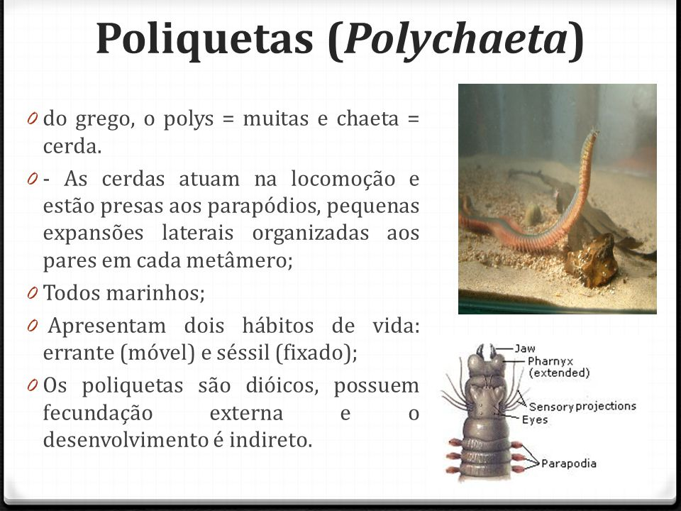 Poliquetas (Polychaeta) 0 do grego, o polys = muitas e chaeta = cerda.