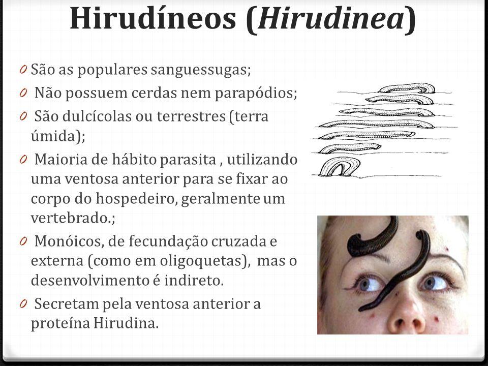 Hirudíneos (Hirudinea) 0 São as populares sanguessugas; 0 Não possuem cerdas nem parapódios; 0 São dulcícolas ou terrestres (terra úmida); 0 Maioria de hábito parasita, utilizando uma ventosa anterior para se fixar ao corpo do hospedeiro, geralmente um vertebrado.; 0 Monóicos, de fecundação cruzada e externa (como em oligoquetas), mas o desenvolvimento é indireto.