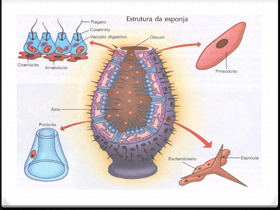 Platyhelminthes 0 São vermes de corpo achatado dorso-ventralmente, Podem ser parasitas ou de vida livre, estes podendo ocorrer nos mares, água doce ou em ambientes terrestres úmidos.
