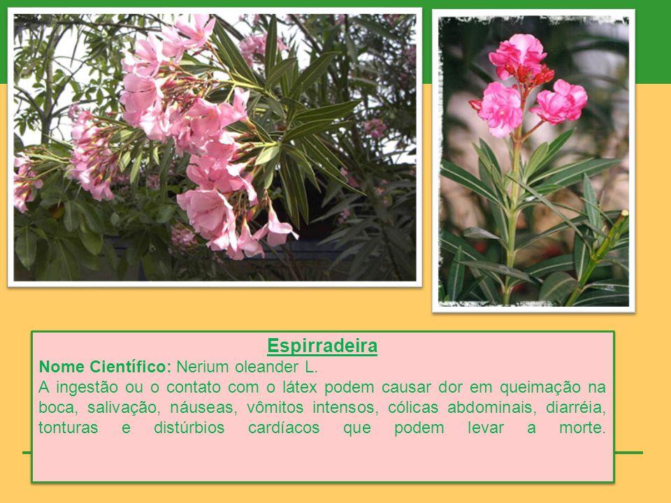 Copo-de-leite Nome Científico: Zantedeschia aethiopica Spreng.