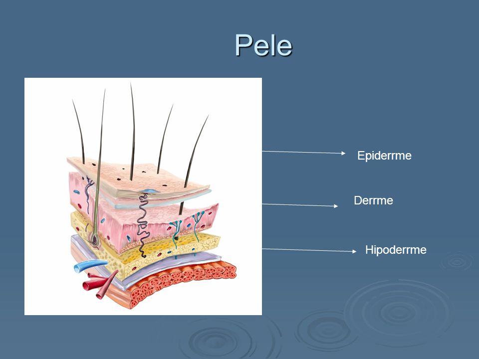 Constituição anatômica da pele   Dividida em 3 camadas: epiderme (proteção), derme (sustentação) e hipoderme (nutrição & energia)   Sistema de vascularização e inervação   Anexos cutâneos: folículo pilo sebáceo glândula sudorípara écrina, unhas