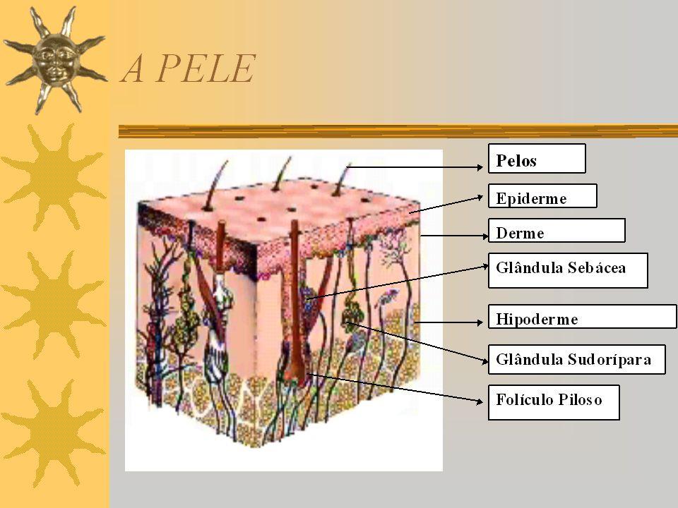 Funções da Pele  Protetora  Termorreguladora  Secretora  Imunitária  Permeabilidade Cutânea
