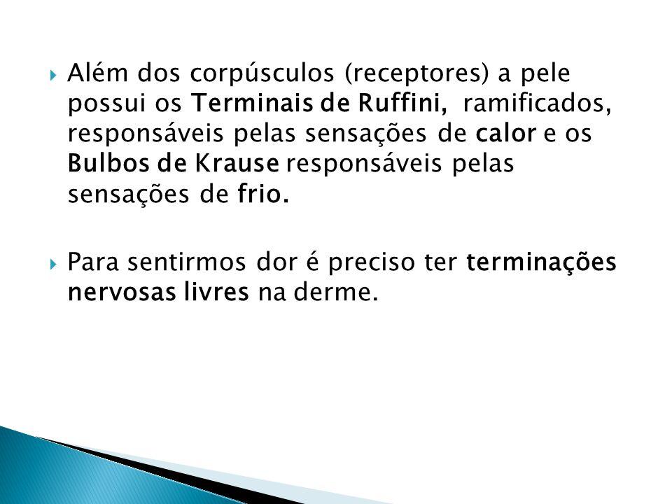  Além dos corpúsculos (receptores) a pele possui os Terminais de Ruffini, ramificados, responsáveis pelas sensações de calor e os Bulbos de Krause re
