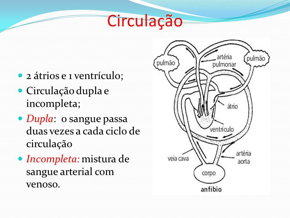 Circulação 2 átrios e 1 ventrículo; Circulação dupla e incompleta; Dupla: o sangue passa duas vezes a cada ciclo de circulação Incompleta: mistura de sangue arterial com venoso.