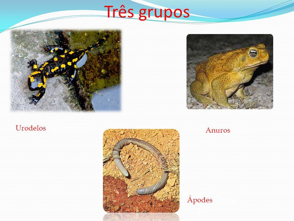 Três grupos Urodelos/salamandra Anuros/sapos Ápodes/cobra -cega