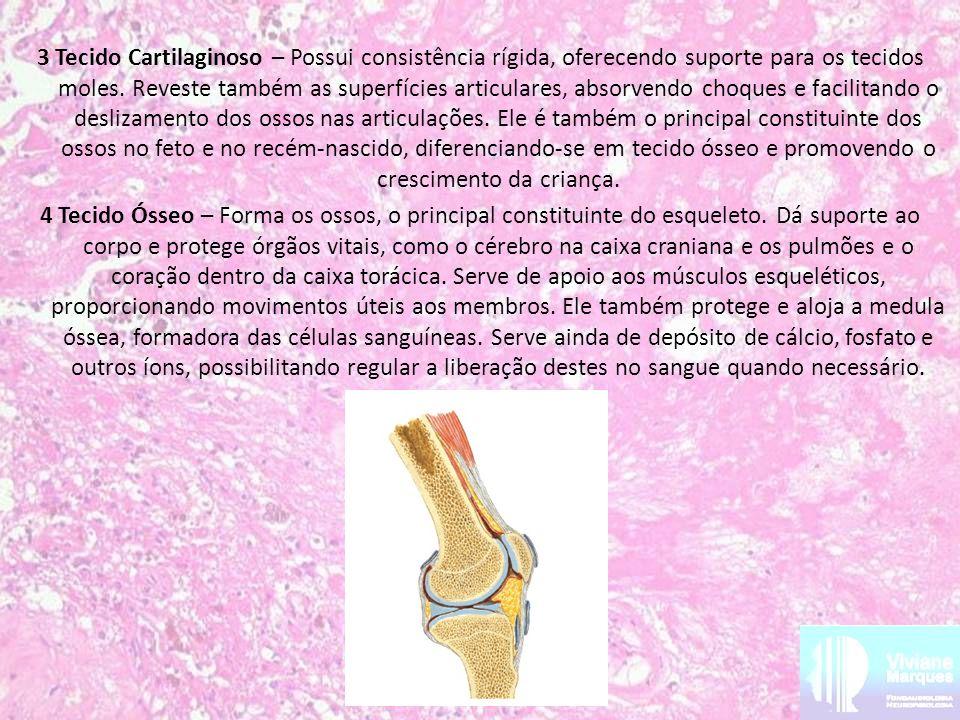 3 Tecido Cartilaginoso – Possui consistência rígida, oferecendo suporte para os tecidos moles. Reveste também as superfícies articulares, absorvendo c