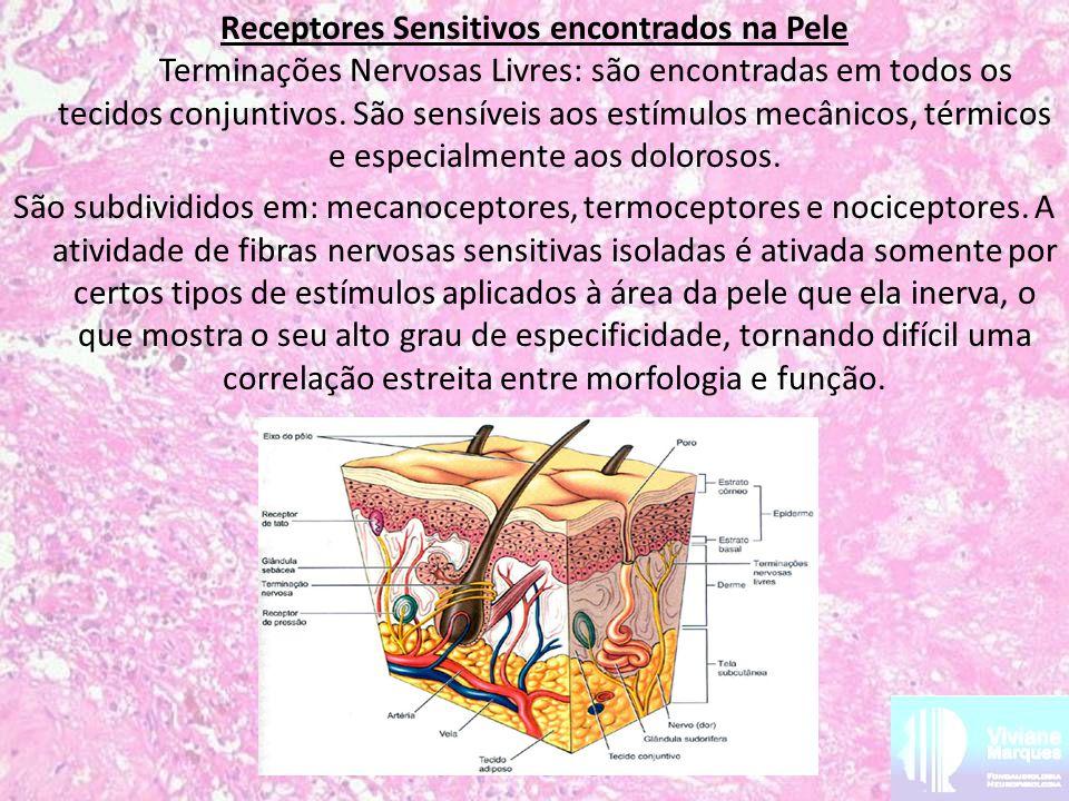 Receptores Sensitivos encontrados na Pele Terminações Nervosas Livres: são encontradas em todos os tecidos conjuntivos. São sensíveis aos estímulos me