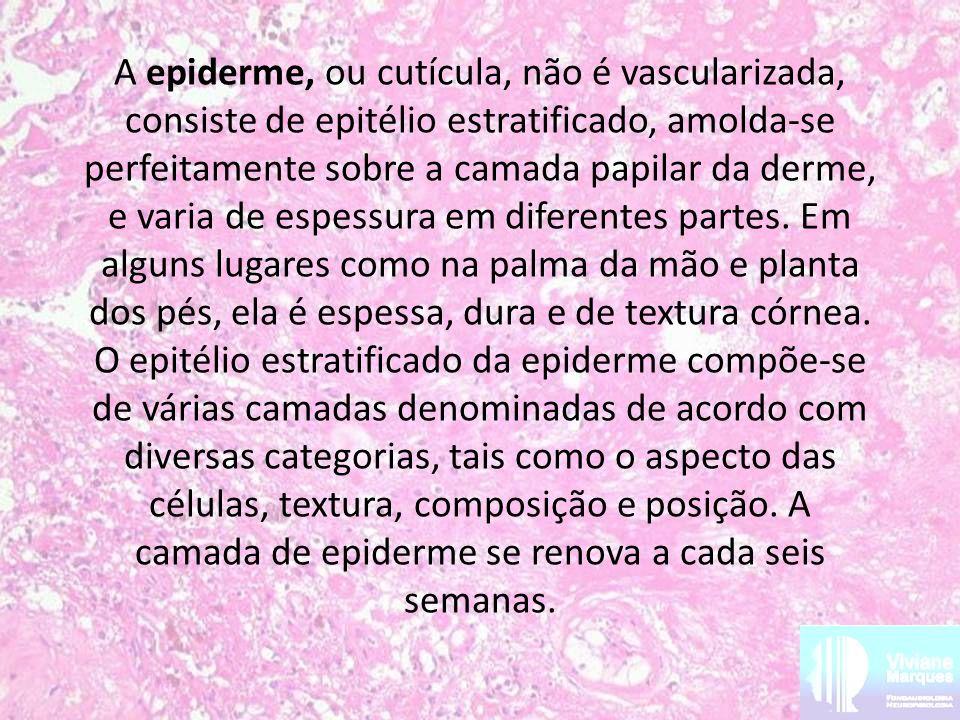 A epiderme, ou cutícula, não é vascularizada, consiste de epitélio estratificado, amolda-se perfeitamente sobre a camada papilar da derme, e varia de