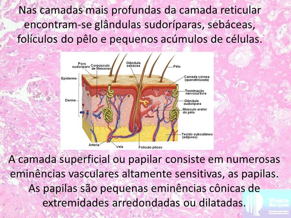 Nas camadas mais profundas da camada reticular encontram-se glândulas sudoríparas, sebáceas, folículos do pêlo e pequenos acúmulos de células. A camad