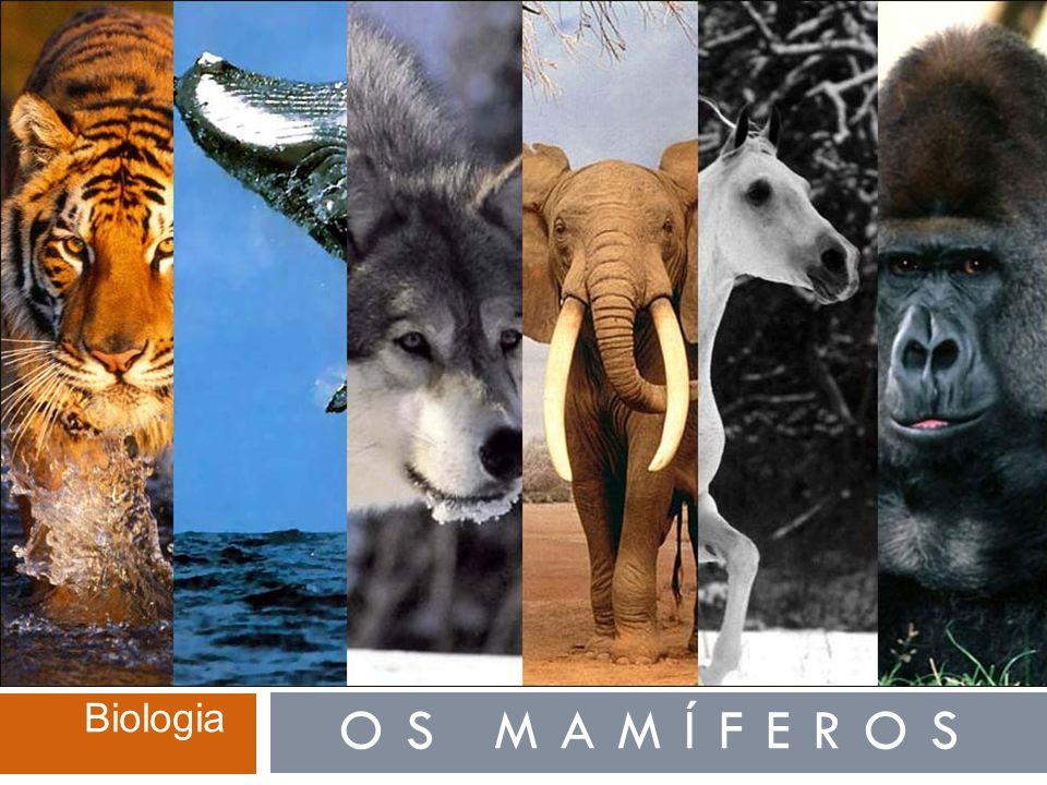  Os mamíferos (classe Mammalia) formam o grupo mais evoluído do filo dos cordados.