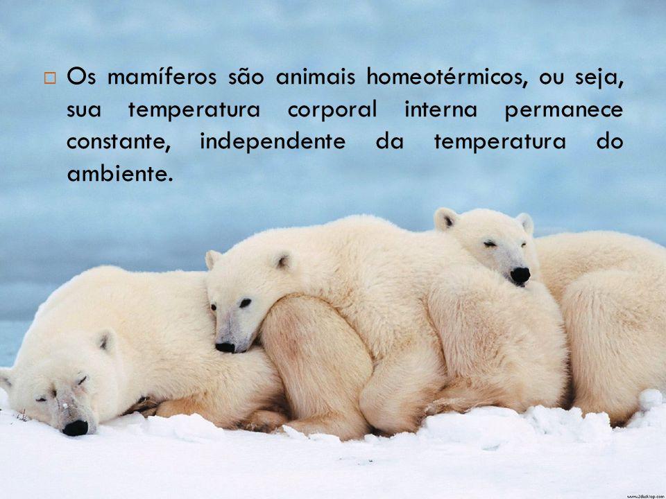  Os mamíferos são animais homeotérmicos, ou seja, sua temperatura corporal interna permanece constante, independente da temperatura do ambiente.