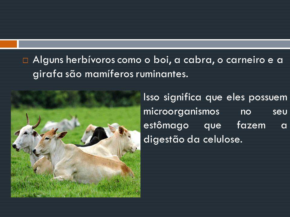  Alguns herbívoros como o boi, a cabra, o carneiro e a girafa são mamíferos ruminantes. Isso significa que eles possuem microorganismos no seu estôma