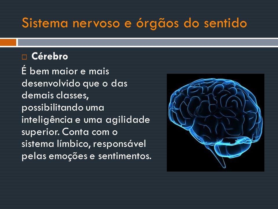 Sistema nervoso e órgãos do sentido  Cérebro É bem maior e mais desenvolvido que o das demais classes, possibilitando uma inteligência e uma agilidad