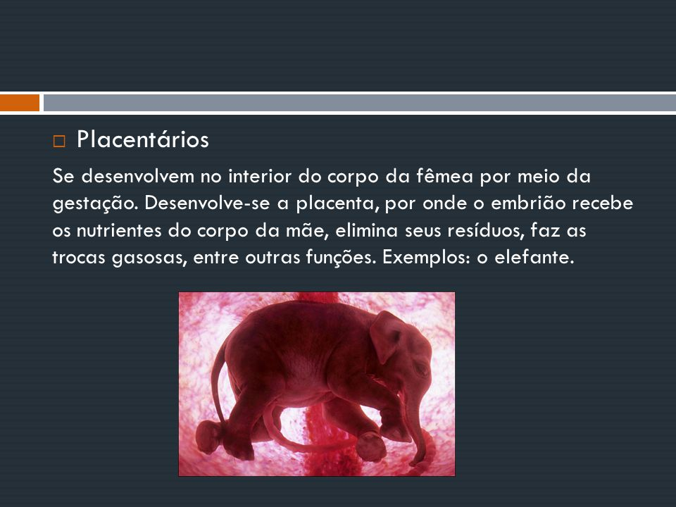  Placentários Se desenvolvem no interior do corpo da fêmea por meio da gestação. Desenvolve-se a placenta, por onde o embrião recebe os nutrientes do