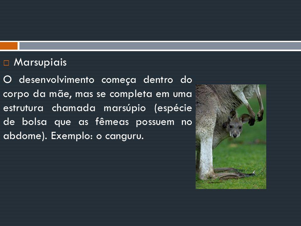  Marsupiais O desenvolvimento começa dentro do corpo da mãe, mas se completa em uma estrutura chamada marsúpio (espécie de bolsa que as fêmeas possue