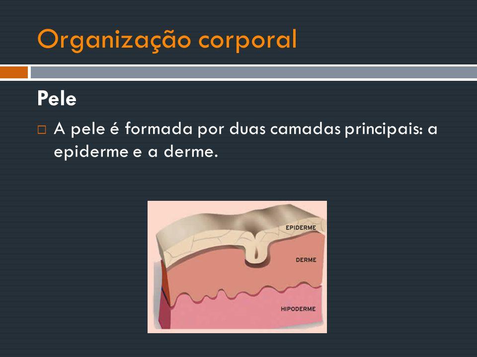 Organização corporal Pele  A pele é formada por duas camadas principais: a epiderme e a derme.