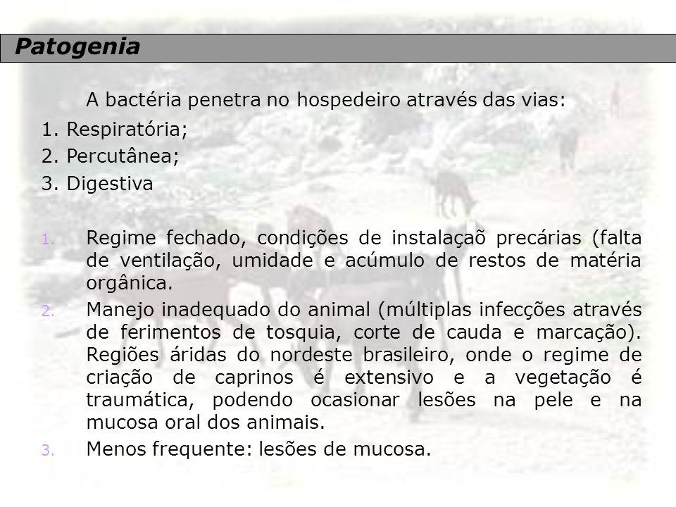 Patogenia A bactéria penetra no hospedeiro através das vias: 1. Respiratória; 2. Percutânea; 3. Digestiva 1. Regime fechado, condições de instalaçaõ p