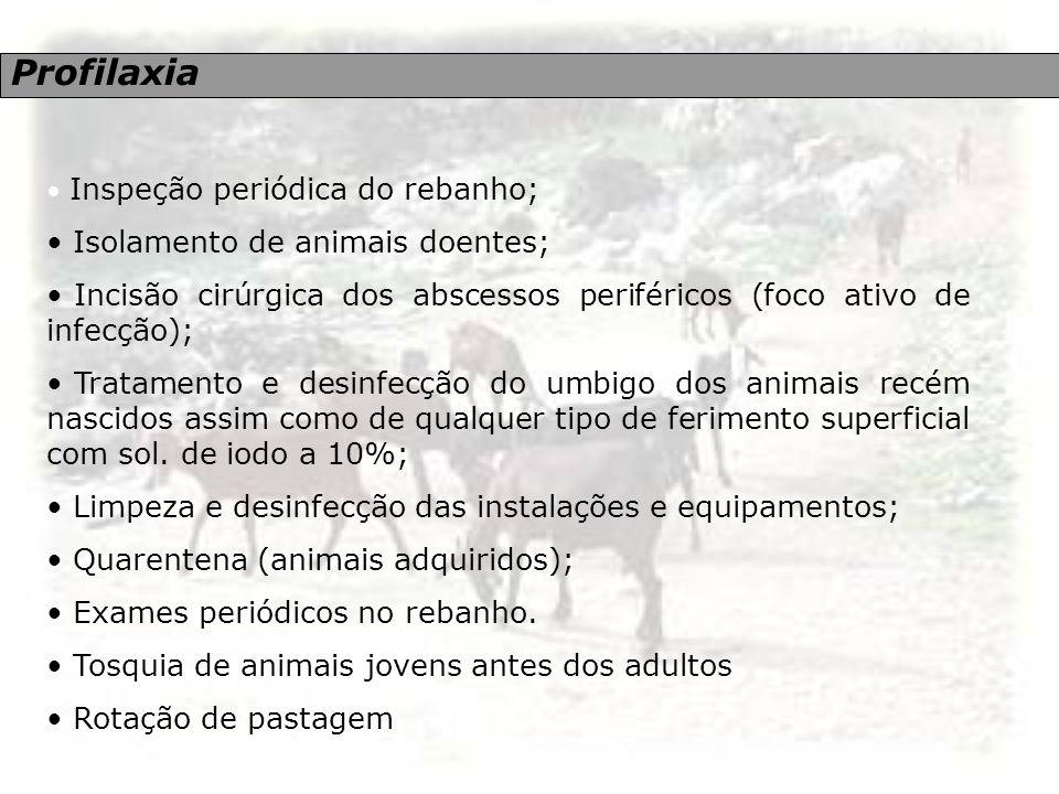 Profilaxia Inspeção periódica do rebanho; Isolamento de animais doentes; Incisão cirúrgica dos abscessos periféricos (foco ativo de infecção); Tratame