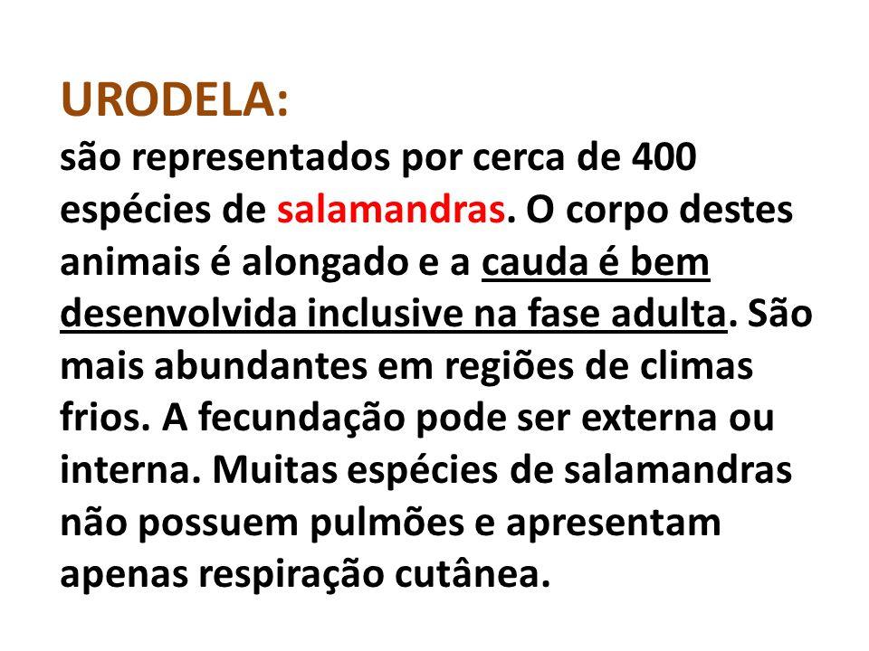 URODELA: são representados por cerca de 400 espécies de salamandras.