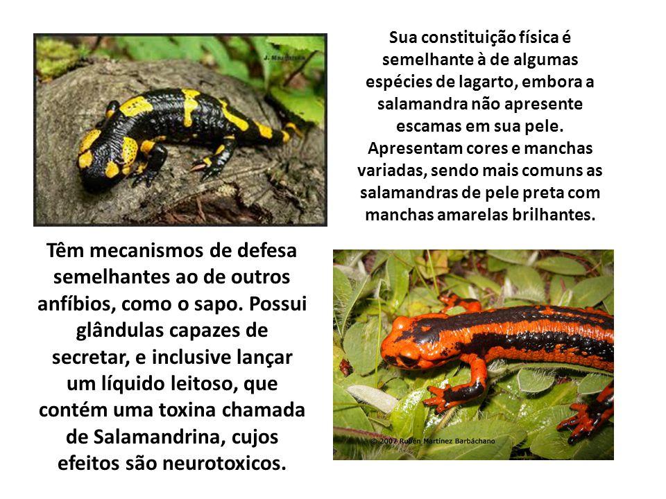 Sua constituição física é semelhante à de algumas espécies de lagarto, embora a salamandra não apresente escamas em sua pele. Apresentam cores e manch