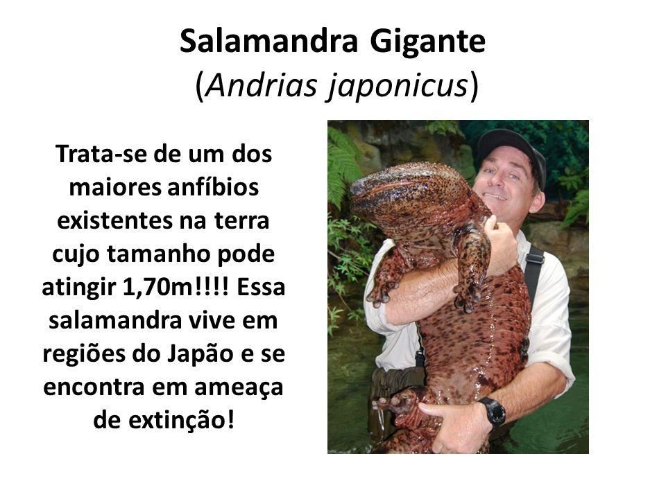 Salamandra Gigante (Andrias japonicus) Trata-se de um dos maiores anfíbios existentes na terra cujo tamanho pode atingir 1,70m!!!! Essa salamandra viv