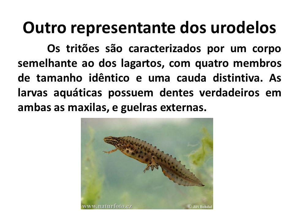 Os tritões são caracterizados por um corpo semelhante ao dos lagartos, com quatro membros de tamanho idêntico e uma cauda distintiva. As larvas aquáti