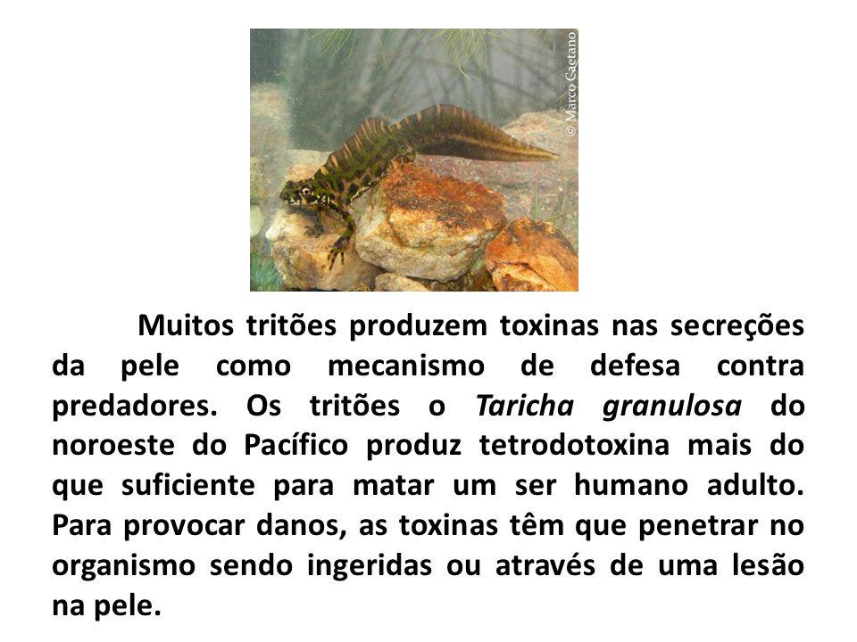 Muitos tritões produzem toxinas nas secreções da pele como mecanismo de defesa contra predadores.
