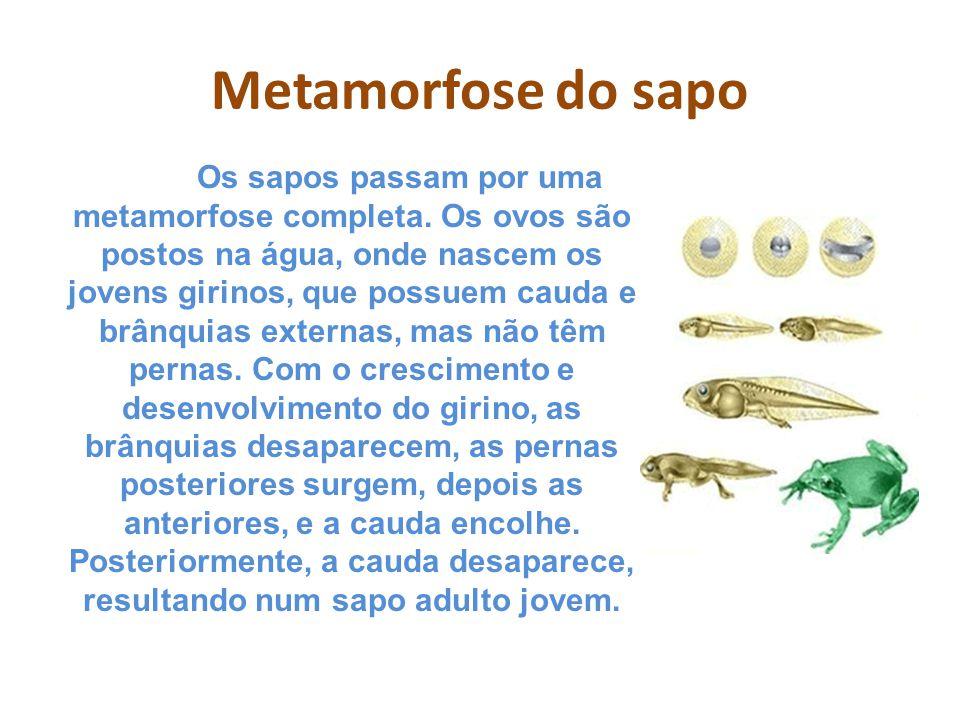 Metamorfose do sapo Os sapos passam por uma metamorfose completa. Os ovos são postos na água, onde nascem os jovens girinos, que possuem cauda e brânq
