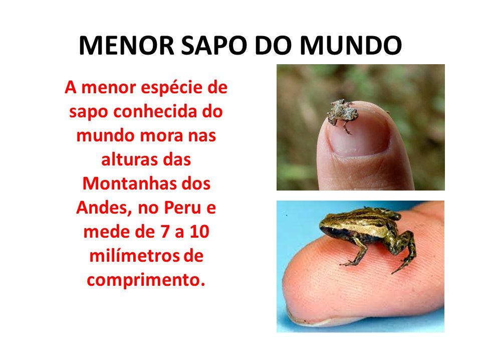 MENOR SAPO DO MUNDO A menor espécie de sapo conhecida do mundo mora nas alturas das Montanhas dos Andes, no Peru e mede de 7 a 10 milímetros de compri
