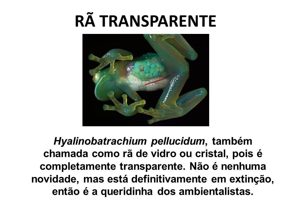 RÃ TRANSPARENTE Hyalinobatrachium pellucidum, também chamada como rã de vidro ou cristal, pois é completamente transparente. Não é nenhuma novidade, m