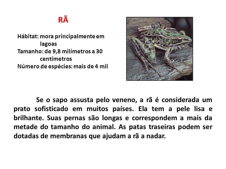 PERERECA Hábitat: muito encontrada em galhos de árvores Tamanho: menos de 10 centímetros Número de espécies: mais de 700 Em geral, a perereca é menor que um sapo ou uma rã e tem como característica os olhos esbugalhados, deslocados para fora.