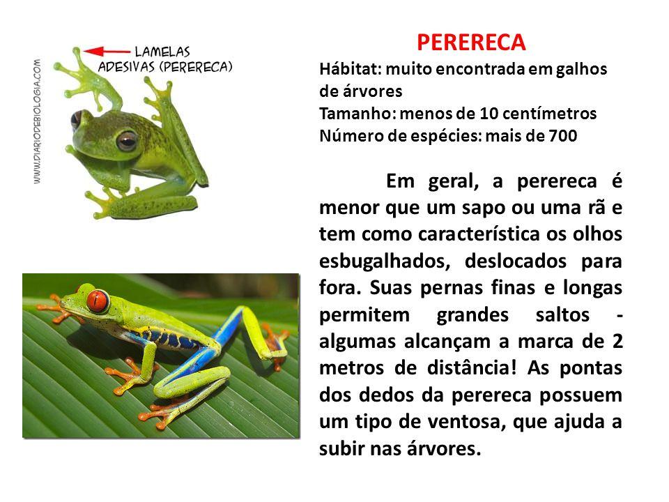 PERERECA Hábitat: muito encontrada em galhos de árvores Tamanho: menos de 10 centímetros Número de espécies: mais de 700 Em geral, a perereca é menor