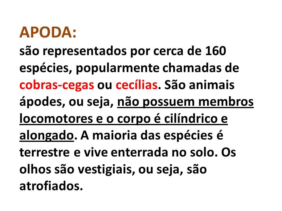 APODA: são representados por cerca de 160 espécies, popularmente chamadas de cobras-cegas ou cecílias.