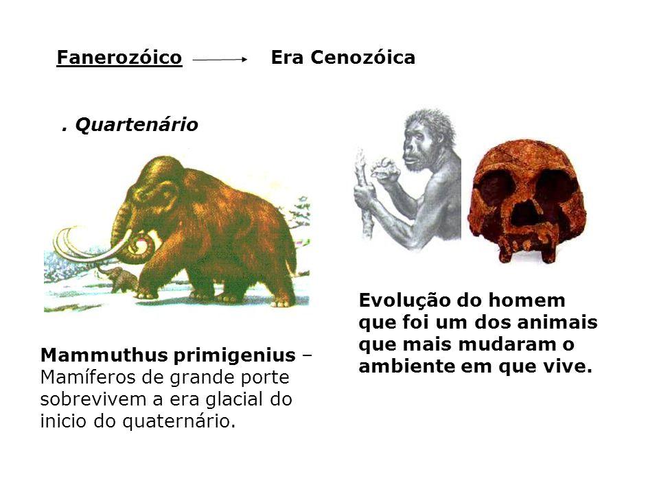Era CenozóicaFanerozóico. Quartenário Mammuthus primigenius – Mamíferos de grande porte sobrevivem a era glacial do inicio do quaternário. Evolução do